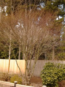 A Vine Maple, pre-thinning and pruning.