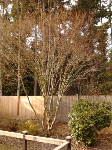 After being pruned.  Most of the difference you see is just all of the deadwood that was taken out.  I did remove a few branches that were particularly thick and or crossing as well.