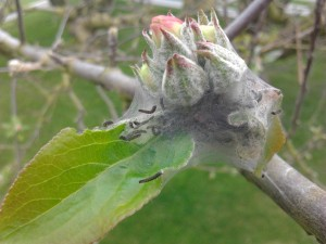 Young tent caterpillars on an apple blossom.