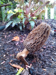 Most likely a Black Morel (Morchella elata) growing in mulch in a landscaped yard.