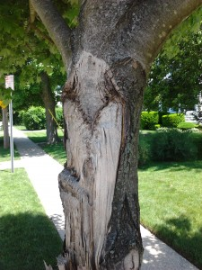"A co-dominate stem failure. When a trunk branches into two main stems, the point of attachment is often weak.  Notice the area above the ""V"" shape on the trunk.  This is just bark that was pressed against the trunk that is now gone, they were not actually attached to each other in this area."