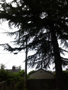 An Atlas cedar growing very close to, and into some utility lines.