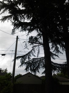The same tree after several branches that were close to the utility lines were removed.