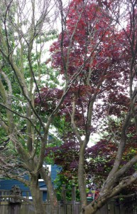 The left half of this Japanese Maple has been decimated by Verticillium wilt.