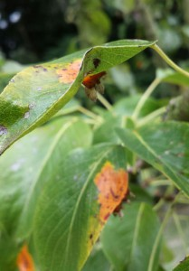 The fruiting structures can be seen protruding from on the underside of these infected leaves, in this photo courtesy of Jeremy Harrison-Smith. The initial infection is often bright orange, sometimes darkening to red late in the summer.