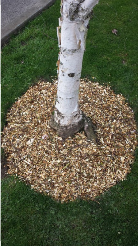 Mulch Around Trees Seattle Arborist First Leaf Design