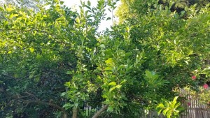 The healthy and vigorous plum tree in question